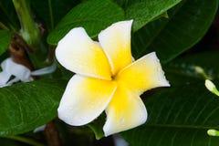 Färgrik blomma med droppvatten Royaltyfri Fotografi