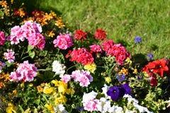 Färgrik blommabakgrund, rosa pelargon arkivfoto