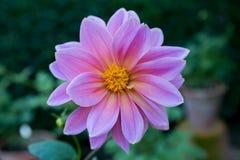 Färgrik blommadahlia Arkivfoto