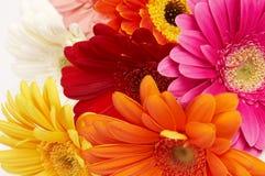 färgrik blommagerbera Royaltyfri Bild