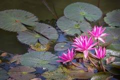 Färgrik blommande purpurfärgad näckros (lotusblomma) Royaltyfria Bilder