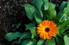 färgrik blommaorange Royaltyfri Fotografi