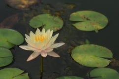 färgrik blommaträdgård Gul lotusblomma i pölen royaltyfria foton