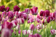 färgrik blommatulpan Arkivbilder