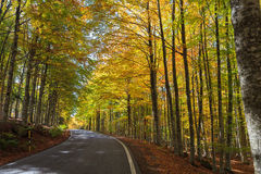 Färgrik bokträdskog i Tuscany Arkivbilder