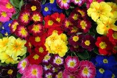 Färgrik bukettprimula Fotografering för Bildbyråer