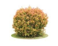 Färgrik buske av trädet för duvabär Arkivbild