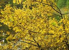 Färgrik buske i höst Royaltyfri Fotografi