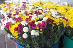 färgrik chrysanthemum royaltyfria foton