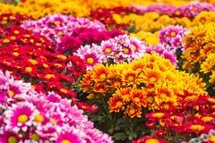 Färgrik chrysanthemum Arkivbild