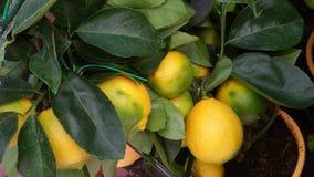Färgrik citronträdfilial Royaltyfri Foto
