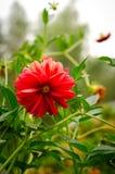 Färgrik dahliablomma som är röd i höstträdgård Fotografering för Bildbyråer