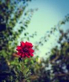 Färgrik dahliablomma som är röd i höstträdgård Royaltyfria Bilder