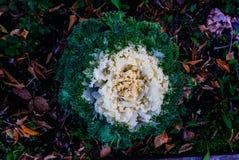 Färgrik dekorativ grönkål i nedgången royaltyfri foto