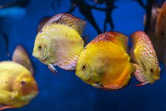 Färgrik diskusfisksimning i akvariet arkivfoto