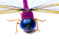 Färgrik drakefluga Fotografering för Bildbyråer