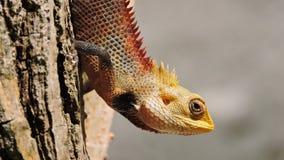 Färgrik exotisk ödla med skarpa grova spikar royaltyfri bild