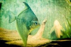 Färgrik exotisk fisk, tropiskt djur Fotografering för Bildbyråer