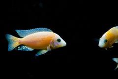 Färgrik exotisk fisk, tropiskt djur Royaltyfri Bild