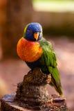 färgrik fågel Royaltyfria Bilder
