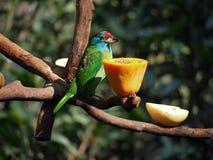 Färgrik fågel som äter papayaen Royaltyfri Foto