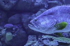 Färgrik fisk eller Epinepheluslanceolatus i havsbakgrunden korallen, Thailand royaltyfri bild