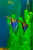 färgrik fisk för akvarium Fotografering för Bildbyråer