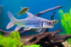 färgrik fisk för akvarium arkivbild