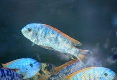 Färgrik fisk i akvarium Arkivbild