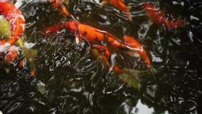 Färgrik fisk i ett damm arkivfilmer