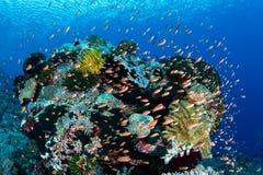 Färgrik fisk och vibrerande rev i Alor royaltyfria foton
