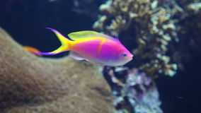 Färgrik fisk på Coral Reef stock video