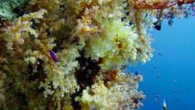 Färgrik fisk på vibrerande Coral Reef, Röda havet lager videofilmer