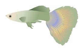 färgrik fiskguppy Arkivbilder