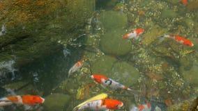 färgrik fiskkoi arkivfilmer
