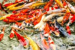 färgrik fiskkoi arkivfoton