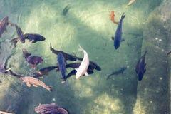 Färgrik fisksimning i dammet Royaltyfri Bild