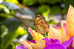 Färgrik fjäril med prickar på det gröna bladet Royaltyfri Bild