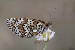 Färgrik fjäril på den vita tusenskönan Royaltyfri Fotografi