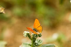 Färgrik fjäril som överst läggas av blomman royaltyfria foton