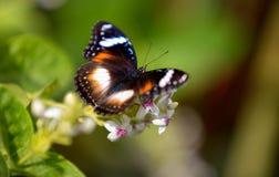 Färgrik fjäril som matar på en vit blomma Arkivbilder