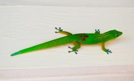 Färgrik Gecko Arkivbilder