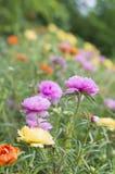 Färgrik gemensam Purslane i trädgård Royaltyfri Bild
