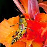 färgrik gräshoppa royaltyfri fotografi