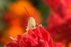 Färgrik gräshoppa Arkivfoto