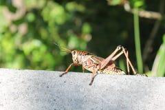 Färgrik gräshoppa Fotografering för Bildbyråer