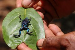Färgrik groda av Madagascar Fotografering för Bildbyråer
