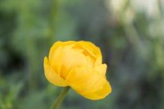 Färgrik gul enkel jordklot-blomma med gröna sidor Grönt blured gräs royaltyfri fotografi