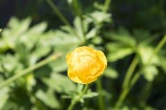 Färgrik gul enkel jordklot-blomma med gröna sidor Grönt blured gräs royaltyfri bild
