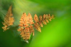 Färgrik guld- ormbunke i naturlig strålkastare i filialen av det tropiska trädet ny green för bakgrund Vintergrön skog Khao Yai f royaltyfria bilder